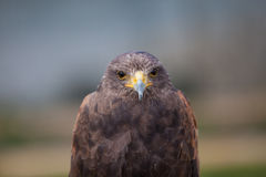 Head on Harris Hawk Stock Image