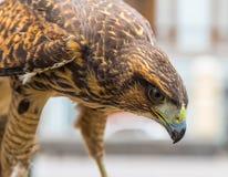 Head of a hawk Stock Photos