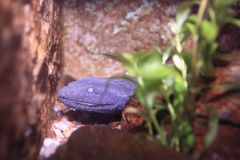 Hellbender salamander Royalty Free Stock Images