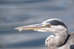 Head of heron in profile, with blurred water in the background. stock photos