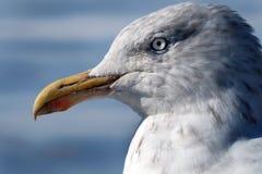 Head of Herring Gull. Stock Image
