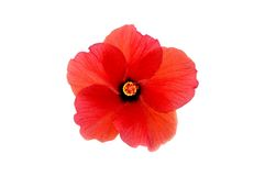 head hibiskus Royaltyfria Foton