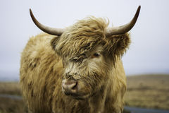 Head of a Highland cow Stock Photography