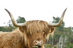 Head of a Highland Cow Stock Image