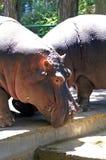 Portrait of a hippopotamus at the zoo. Head of the hippopotamus. Close-up. Hippo on land. The eye of the hippopotamus. A hippopotamus is about a step Stock Photos
