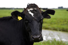 Head of a Holstein cow watching Royalty Free Stock Images
