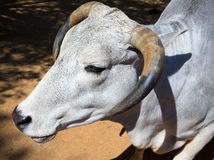 Head and horns white bull portrait Stock Photography