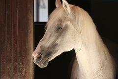 Head of a horse. Head of a white horse Royalty Free Stock Photo