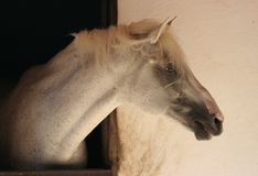Head of a horse. Head of a white horse Royalty Free Stock Images