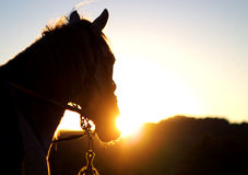 Head of horse. On background bright sun during sundown Stock Photo