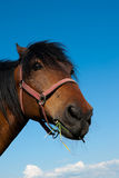 Head of a horse Royalty Free Stock Images
