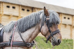 Head horse breed Brabancon Stock Photos