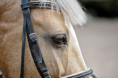 Head of horse . Royalty Free Stock Photography