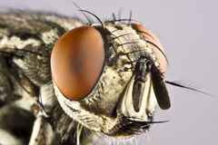 Head of horse fly with huge compound eye Royalty Free Stock Photos