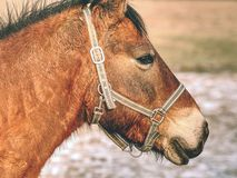 Head of horse with halter. Brown horse stock image