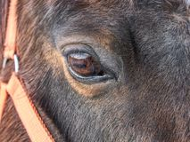 Head of horse with halter. Brown horse royalty free stock photography