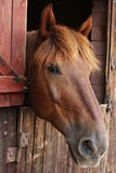 Head horse. The image of the head of the horse in the stable stock image