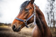 Head of the horse Royalty Free Stock Images