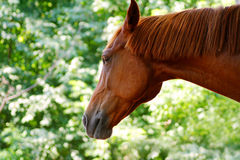 Head of a horse of Russian rysisty breed. Red horse against spring foliage Stock Photography