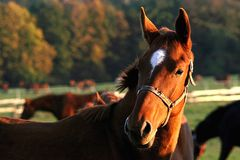 Head of a horse in the sun rays. Shining horses head at sunset, he watching other horses Royalty Free Stock Photo