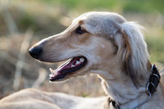 Head of Hound dog. Over gray grass Royalty Free Stock Photo