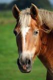 head hästen Fotografering för Bildbyråer