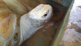 Head of a huge albino tortoise stock image
