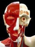 head human Arkivfoto