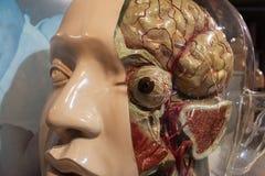 head of human anatomical model Stock Photos