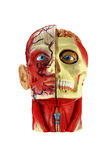Head human anatomy Stock Photo