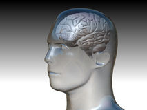 Head and the Human Brain Royalty Free Stock Photo