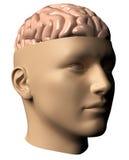 head human för hjärna Royaltyfria Bilder