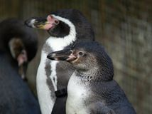 Head of Humboldt Penguin (Spheniscus humboldti) Stock Photos