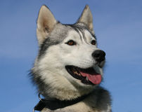 head husky Royaltyfria Foton