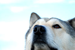 Head Of Husky. Head of purebred siberian husky; beautiful watching dog Stock Photos