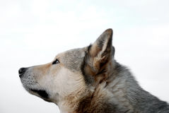 Head Of Husky. Head of purebred siberian husky: beautiful watching dog Stock Photo