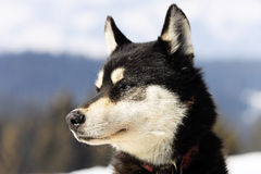 Head of husky dog Stock Photo