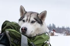 Head of a husky looking out of a backpack. Head of a husky looking out of a backpack in winter, close up Stock Photography