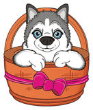 Head of husky peek up from basket with bow Royalty Free Stock Images