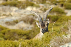Head of ibex Royalty Free Stock Photo