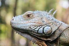 Head of Iguana. Macro Head of Iguana at the Blurred Background Stock Photos