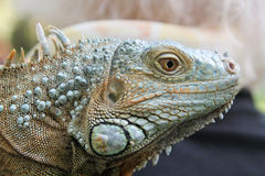 Head of Iguana Royalty Free Stock Photography