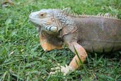 Head of Iguana. Macro Head of Iguana at the Blurred Grass Background Royalty Free Stock Image