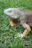 Head of Iguana Stock Photography