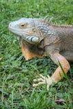 Head of Iguana. Macro Head of Iguana at the Blurred Grass Background Stock Photography