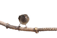 Head on image of junco balanced on a branch. White background stock photo
