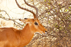 Head of Impala. In Africa Stock Photography