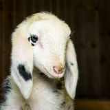 Head of innocent newborn lamb Stock Image