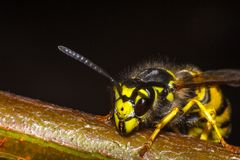 The head of the insect wasp Stock Images