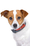Head of jack russel terrier dog. Isolated on a white background Stock Image